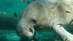 See Manatees at Tampa Electric's Manatee Viewing Center in Apollo Beach