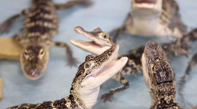 Feed a gator 768x427